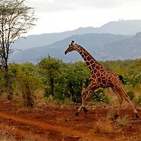Africa, Kenya, Meru. Reticulated Giraffe running Meru National Park.