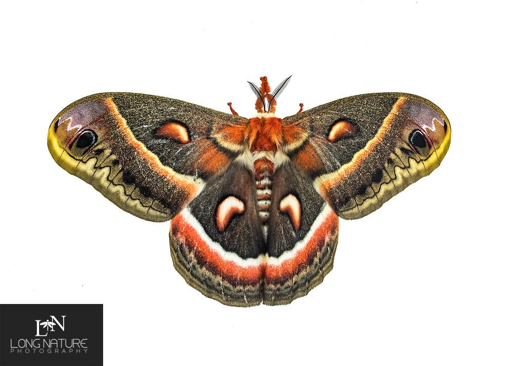 Hyalophora cecropia (cecropia moth) female. Lady Lake, Fl USA.