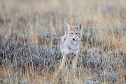Coyote hunting in the rain in grassland habitat.