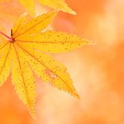Autumn foliage, Japanese maple leaves, in Nagano Prefecture, near Kawaguchi-ko, one of the five major lakes around Mt. Fuji.
