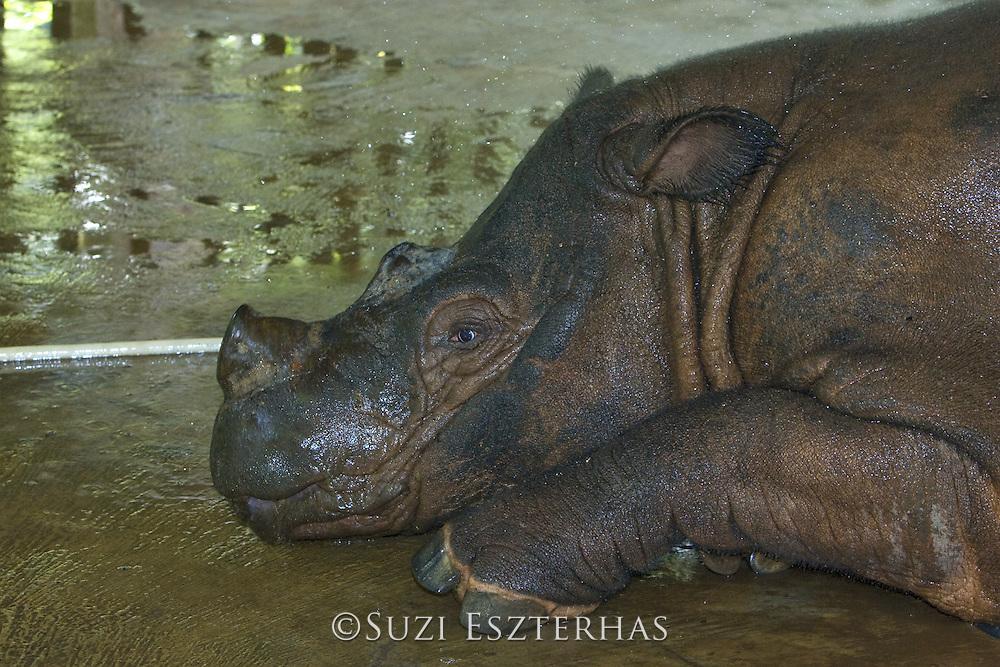Sumatran Rhinoceros <br /> Dicerorhinus sumatrensis<br /> Caretaker bathing adult rhino in captive breeding enclosure<br /> Sumatran Rhino Sanctuary, Way Kambas National Park, Indonesia<br /> *Critically Endangered<br /> *Captive