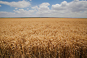 golden wheat field, blue Sky and clouds, Photographed in Israel