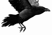Raven's talons on take-off. Dorset, UK.