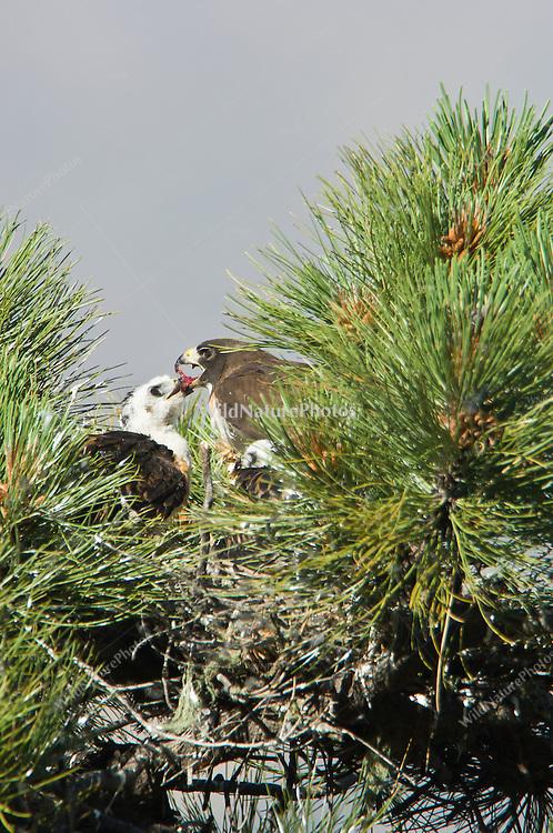 Short-tailed Hawk (Buteo brachyurus) adult female feeding nestlings; Arizona (Nesting Record)