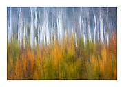 colourful autumn Re-emergence of aspen trees after the original grove was burnt in a wildfire leaving white trunks stripped bare by the flames in the Eastern Sierra, California