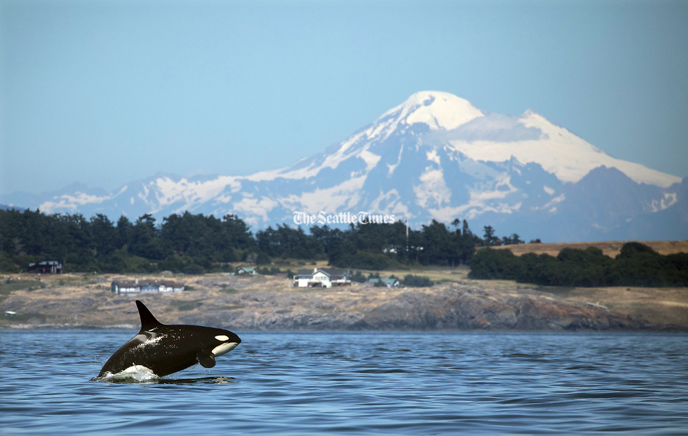 Mount Baker provides a spectacular backdrop for K20, a female born in 1986. Orcas can swim 75 miles a day and more, with bursts of speed up to 30 mph, and are capable of diving deeper than 3,000 feet. (Steve Ringman / The Seattle Times, 2018)