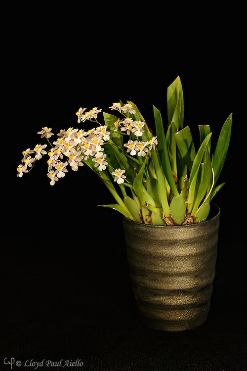 """Oncidium orchid (Tsiku Marguerite) grown by the photographer, 7 inches tall, with one multibranched flower spike supporting 43 individual blossoms.<br /> <br /> Oncidium is a genus that contains over 330 species of orchids.  It is an extraordinarily large and diverse group from varied habitats. Most species in the Oncidium genus are epiphytes (grow on other plants), although some are lithophytes (grow on rocks) or terrestrials (grow in the ground). They are widespread from northern Mexico, the Caribbean, and some parts of South Florida to South America, usually occurring in seasonally dry areas.  This genus was first described by Olof Swartz in 1800, a Swedish botanist and taxonomist and the first specialist of orchid taxonomy.  The name is derived from the Greek word """"onkos"""", meaning """"swelling"""" due to the callus at the flower's lower lip."""