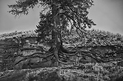 A big ponderosa pine wraps itself to the granite rock of the canyon in the Middle Fork of the Salmon. Big horn sheep have licked out the minerals from the base of the rock exposing the impressive root structure