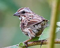 Song Sparrow (Melospiza melodia). Image taken with a Nikon D5 camera and 80-400 mm VRII lens.