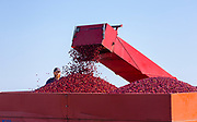 Cranberry harvest at Cranberry Creek Cranberries in Necedah, Wis. (Photo © Andy Manis)