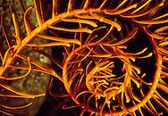Orange Sea Lily (Nemaster rubiginosa). Bonaire