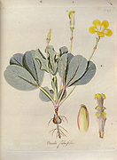 Woodsorrel (Oxalis fabaefolia). Illustration from 'Oxalis Monographia iconibus illustrata' by Nikolaus Joseph Jacquin (1797-1798). published 1794