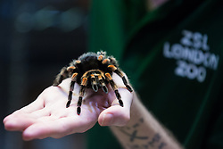 London, UK. 2 January, 2020. A keeper displays Kate, a Mexican red-kneed spider, during the annual stocktake at ZSL London Zoo. Every mammal, bird, reptile, fish and invertebrate is counted - a total of more than 500 different species - as part of an almost week-long audit required by the Zoo's licence, with the information recorded then shared with other zoos via the Species360 database.