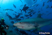 shark feeder Rusi presents bait to a tiger shark, Galeocerdo cuvier, Shark Reef Marine Reserve, Beqa Passage, Viti Levu, Fiji ( South Pacific Ocean ) MR 328