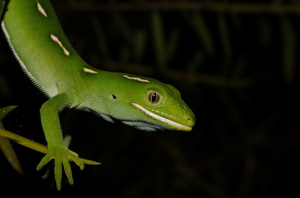 Auckland green gecko, Naultinus elegans elegans