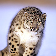 An adult snow leopard (Panthera uncia). Snow leopards inhabit the Himalayas in Asia. Captive Animal