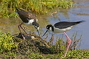 Pair of Black-nedked Stilts work on their nest containing eggs.(Himantopus mexicanus).Bolsa Chica Wetlans, California