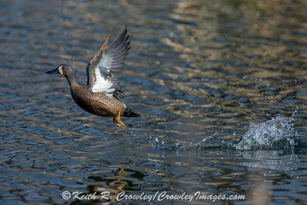 Bluewing Drake Taking Off.