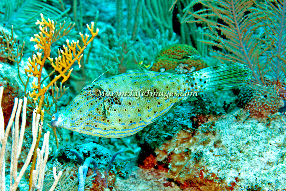 Scrawled Filefish drift over reefs and rocky bottoms with abundant gorgonian growths in Tropical West Atlantic and cirumtropical; picture taken Grand Turk.