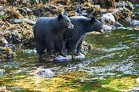 Black Bear (Ursus americanus) cubs,   Thornton Creek, Ucluelet , British Columbia, Canada