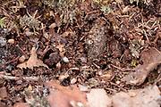 Camouflaged web of purse web spider (Atypus affinis) on heathland. Surrey, UK.