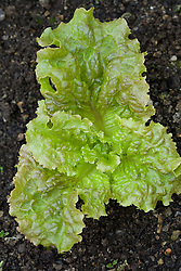 Lettuce 'Red Sails'