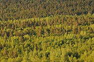 Taiga forest, with Scots pine (Pinus silvestris), aspen (Populus tremulus) and mountain birch, (Betula pubescens tortuosa) Saltoluokta area, bordering to the Stora Sjöfallet National Park, Greater Laponia rewilding area, Lapland, Norrbotten, Sweden