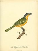 Pie-grièche Blanchot from the Book Histoire naturelle des oiseaux d'Afrique [Natural History of birds of Africa] Volume 6, by Le Vaillant, Francois, 1753-1824; Publish in Paris by Chez J.J. Fuchs, libraire 1808