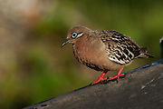 Galapagos Dove (Zenaida galapagoensis) Puerto Ayora, Santa Cruz Island.<br /> GALAPAGOS ISLANDS<br /> ECUADOR.  South America<br /> EMDEMIC TO GALAPAGOS<br /> Common in arid areas of the main islands.