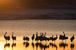 Photo taken on Feb. 28, 2016 shows black-necked cranes yelling at the Dashanbao Dahaizi Wetland in Zhaotong City, southwest China's Yunnan Province after returning farmlands to grasslands and wetlands, the Dashanbao Black-neck Crane Nature Reserve, which was built in 2003, has seen the number of black-necked cranes that winter here increase from 300 to about 1200 in 2015. EXPA Pictures © 2016, PhotoCredit: EXPA/ Photoshot/ Hu Chao<br /><br />*****ATTENTION - for AUT, SLO, CRO, SRB, BIH, MAZ only*****