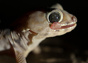 Caught by the Herpetologist, a gecko is lit with a headlight. It uses its tongue to clear his eyeballs of sand.