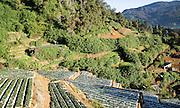 Terraces of vegetable crops near the town of Nuwara Eliya, Central Province, Sri Lanka