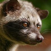Asian Palm Civet, (Paradoxurus hermaphroditus) captive animal. Indonesia.