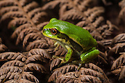 Andean Marsupial tree frog (Gastrotheca riobambae) froglet<br /> CAPTIVE<br /> Central & north Ecuador<br /> ECUADOR. South America<br /> Threatened species due to habitat loss<br /> RANGE: Ecuador<br /> Andean & inter andean valleys north & central Ecuador. 2,200-3,500m.<br /> Endangered declining population