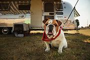 English Bulldog puppy at Oregon Aviation Historical Society.