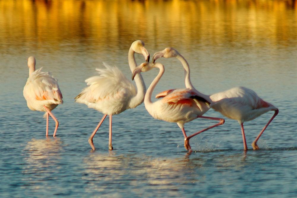 05/Diciembre/2013 Islas Baleares. ibiza<br /> Flamencos en  el Parque Natural de Ses Salines<br /> <br /> © JOAN COSTA
