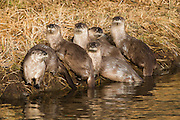 Family of Otters gathered along the bank in late Fall in Jackson Hole, WY.