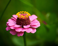 Zinnia. Image taken with a Nikon D850 camera and 60 mm f/2.8 macro lens
