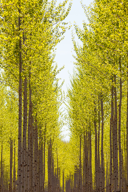 Albus variety Poplar tree on a tree farm along the Columbia River in Oregon. Vertical.  Limited Edition of 8 and licensing.