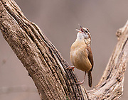 A Carolina Wren sings its te-kettle tea-kettle song to let everyone know it is here.