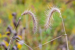 A pair of drying and dying pieces of Foxtail grass appear to be lovers reaching for each others hands.