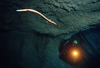 """The incredible olm, Proteus anguinus, SLOVENIA/DIVJE JEZERO, IDRIJA Slovenia has more than 9,000 registered caves, like an entire basement section to the normal landscape above. In these and in some locations in Italy, Croatia and Bosnia-Herzegovina lives one of the world's more strange creatures, the olm or """"Baby Dragon"""". Without eyes, without pigment and with a set of red gills on the outside of the body, this all-white cave salamander can live to be over 100 years old, reaches sexual maturity at the age of 17, and is able to survive without any food at all for at least 6 years! Picture taken in controlled conditions."""