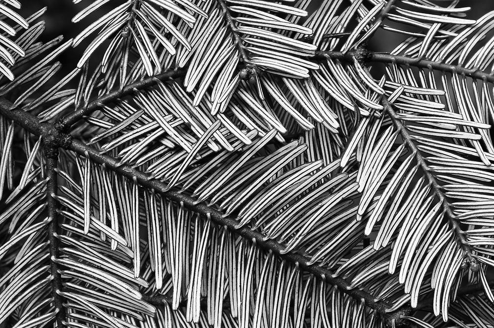 Grand fir needles, Olympic Peninsula, Washington, USA