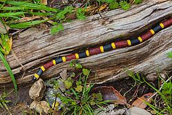 Coral snake, Micrurus fulvius tenere, log, neurotoxin, poisonous, red and yellow kill a fellor, reptile, scales, venomous