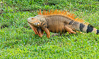 The green iguana, also known as the American iguana is a large attractive and often strikingly-colored lizard in the Iguanidae family that is native to the Caribbean Islands, Central America and most of the northern half of South America. Although they are are herbivores and are not particularly dangerous to humans or other animals, they do adapt to new environments very well and are a very special species of concern in places where they have naturalized (most likely as escapes from the pet trade, as they make very friendly and docile pets when raised by humans). Green iguanas are now found in Florida, Nexas, Puerto Rico and Hawaii where these enormously strong lizards burrow into the sides of canals and riverbanks causing unnecessary erosion and damage, destruction of rare native plants other species depend upon, as well as decimating gardens and landscaping. This 6-foot beefy male was found on the side of the road with around 200 other well-fed adults along a one-mile stretch on Key Largo, Florida.
