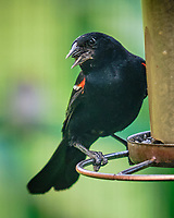 Red-winged Blackbird. Image taken with a Fuji X-T3 camera and 200 mm f/2 OIS lens with 1.4x teleconverter.