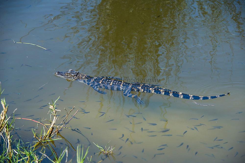 American alligator (Alligator mississippiensis) baby<br /> Little St Simon's Island, Barrier Islands, Georgia<br /> USA<br /> RANGE: Wetlands. Native to Southern United States