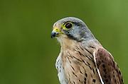 Kestrel (Falco tinnunculus)<br /> Secret World Wildlife Rescue Center<br /> Somerset<br /> England<br /> UK<br /> Captive