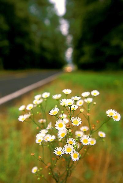 Stock photo of white roadside wildflowers