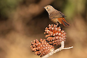Female redstart (Phoenicurus phoenicurus) perched on a pine tree branch. This bird is considered to be an Old World flycatcher and is found throughout Europe in summer. It migrates to north Africa in winter and feeds predominantly on winged insects. Photographed in Israel, in December